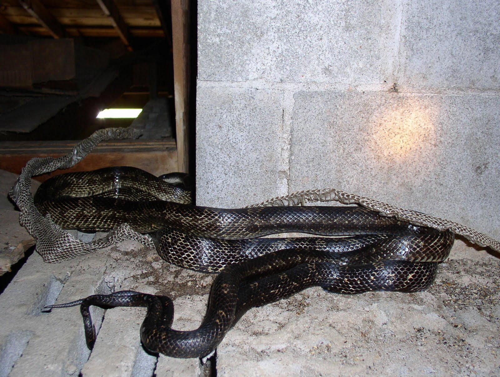 7-23 Mating Black Snakes 6-6-06 (2)